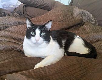 Domestic Mediumhair Cat for adoption in Westchester, California - Mugsy