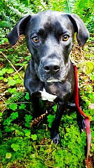 Boxer/Labrador Retriever Mix Dog for adoption in Tillamook, Oregon - Diesel