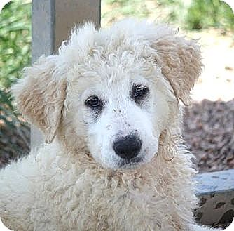 Great Pyrenees/Collie Mix Puppy for adoption in Jewett City, Connecticut - Mysa