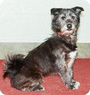 Standard Schnauzer Mix Dog for adoption in Ada, Oklahoma - HENRY