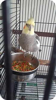 Cockatiel for adoption in Punta Gorda, Florida - Loco