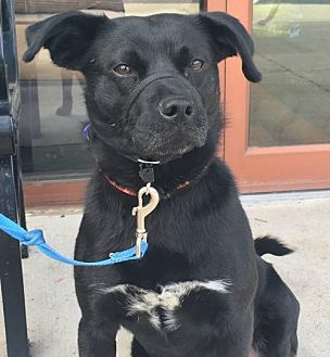 Labrador Retriever Mix Dog for adoption in Centreville, Virginia - Okie - Foster needed