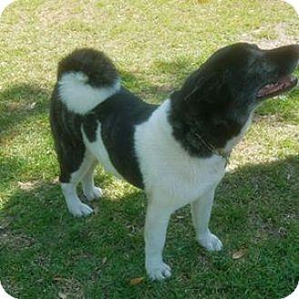 Akita Dog for adoption in Savannah, Georgia - Uhane
