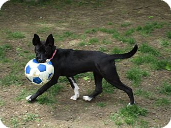 Boxer/German Shepherd Dog Mix Dog for adoption in Claremont, New Hampshire - Lucy - Adopted!