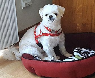 Shih Tzu Dog for adoption in Eden Prairie, Minnesota - Barney