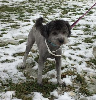 Schnauzer (Miniature)/Poodle (Miniature) Mix Dog for adoption in Salem, Ohio - Alley