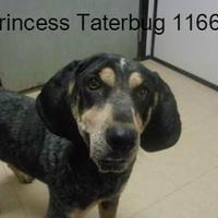 Adopt A Pet :: Princess Taterbug - Manassas, VA