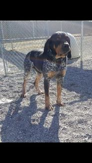 Bluetick Coonhound Mix Dog for adoption in Cody, Wyoming - Nico