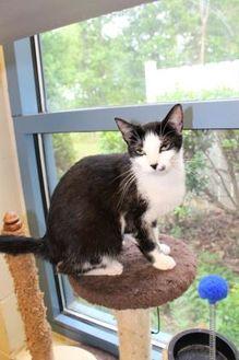 Domestic Shorthair/Domestic Shorthair Mix Cat for adoption in Lynchburg, Virginia - Tusa