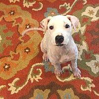 American Bulldog/Labrador Retriever Mix Puppy for adoption in Fort Collins, Colorado - Serenity