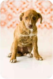 Boxer/Australian Cattle Dog Mix Puppy for adoption in Portland, Oregon - Bart