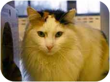 Domestic Mediumhair Cat for adoption in Walker, Michigan - Sherrill