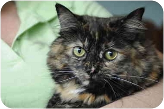 Maine Coon Cat for adoption in Columbus, Ohio - Angelina
