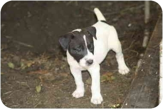 Collie Mix Puppy for adoption in White Settlement, Texas - Half Pint