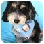 Photo 1 - Havanese/Miniature Poodle Mix Dog for adoption in Irvine, California - Cargo