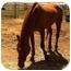 Photo 1 - Quarterhorse/Arabian Mix for adoption in Sac, California - Shawnee