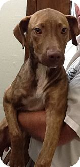Pit Bull Terrier Mix Dog for adoption in Haughton, Louisiana - Pit puppy