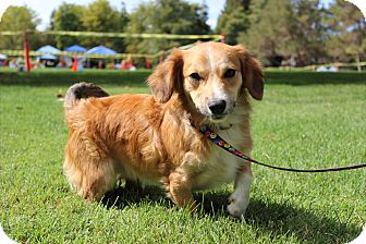 Corgi/Sheltie, Shetland Sheepdog Mix Dog for adoption in Tracy, California - Henry ADOPTED!!