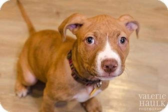 American Pit Bull Terrier/American Staffordshire Terrier Mix Puppy for adoption in Columbus, Ohio - Katie