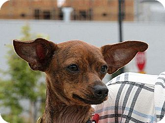 Chihuahua Mix Puppy for adoption in Berkeley, California - Archie