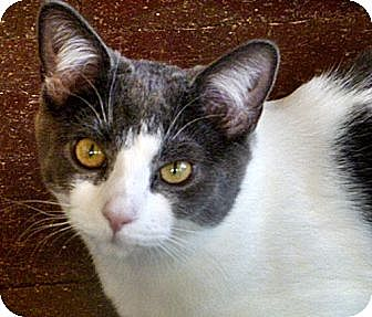Domestic Shorthair Cat for adoption in Santa Fe, New Mexico - Saphira