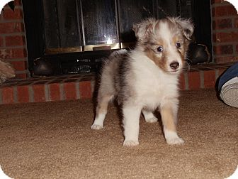 Sheltie, Shetland Sheepdog Puppy for adoption in Littleton, Colorado - Gracie