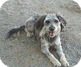Poodle (Miniature)/Shih Tzu Mix Dog for adoption in Silver City, New Mexico - Smurf