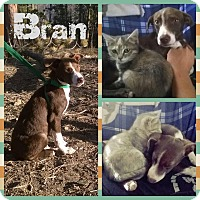 Adopt A Pet :: Bran - Greeley, CO