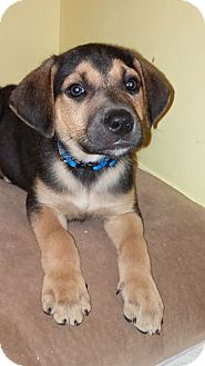 Beagle/Labrador Retriever Mix Puppy for adoption in Lincoln, Nebraska - OPPIE