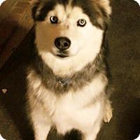 Adopt A Pet :: Zorro - Plano, TX