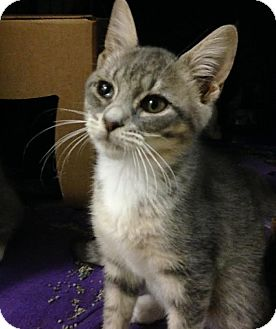 Domestic Shorthair Kitten for adoption in East Brunswick, New Jersey - Starburst