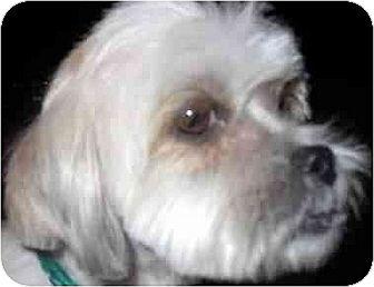 Shih Tzu/Lhasa Apso Mix Dog for adoption in Downey, California - Carter