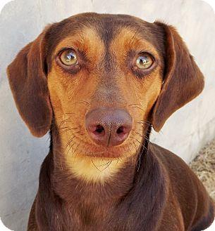 Miniature Pinscher Mix Dog for adoption in Fredericksburg, Texas - Keely