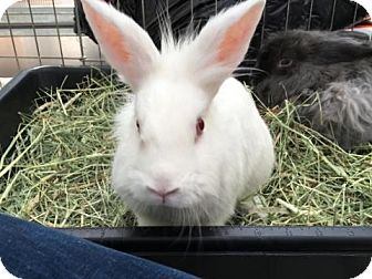Lionhead Mix for adoption in Los Angeles, California - Bobby