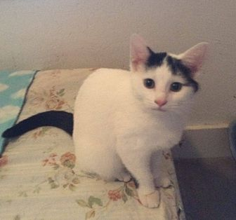 Domestic Shorthair Cat for adoption in Transfer, Pennsylvania - Muffin