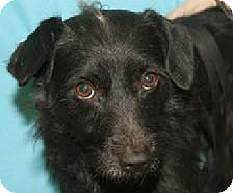 Poodle (Miniature)/Terrier (Unknown Type, Small) Mix Dog for adoption in Mt. Prospect, Illinois - Onry