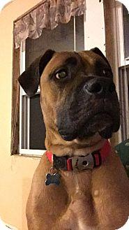 Boxer/Mastiff Mix Dog for adoption in bath, Maine - RILEY