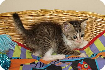 Domestic Shorthair Kitten for adoption in Jackson, Mississippi - Stephanie
