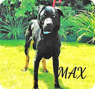Labrador Retriever/Rottweiler Mix Dog for adoption in Spokane, Washington - Max