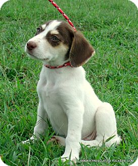Australian Shepherd/Labrador Retriever Mix Puppy for adoption in parissipany, New Jersey - Clover~Adopted