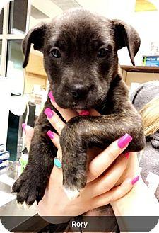 Labrador Retriever Mix Puppy for adoption in Chico, California - Rory