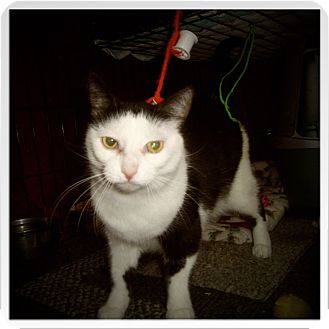 Domestic Shorthair Cat for adoption in Medford, Wisconsin - LILLY