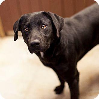 Labrador Retriever Mix Dog for adoption in Severance, Colorado - SHADOW