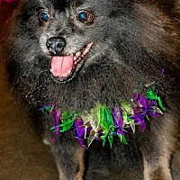 Adopt A Pet :: Braveheart Bear - Dallas, TX