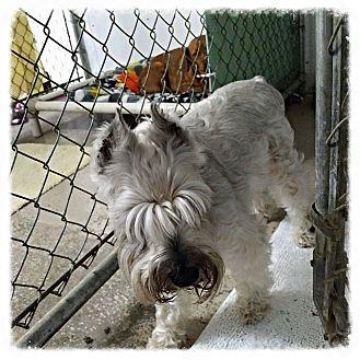 Miniature Schnauzer Dog for adoption in New Richmond,, Wisconsin - Harley