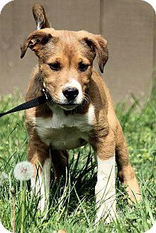 Collie/Labrador Retriever Mix Puppy for adoption in Harrisonburg, Virginia - Wyatt