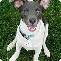 Adopt A Pet :: THOR - Elyria, OH