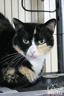 Domestic Shorthair Cat for adoption in Troy, Illinois - Sheila