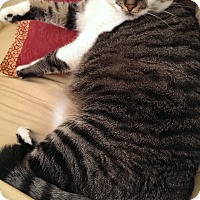American Shorthair Cat for adoption in Colleyville, Texas - Eve