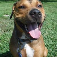Boxer/Shepherd (Unknown Type) Mix Dog for adoption in Chicago, Illinois - Colton